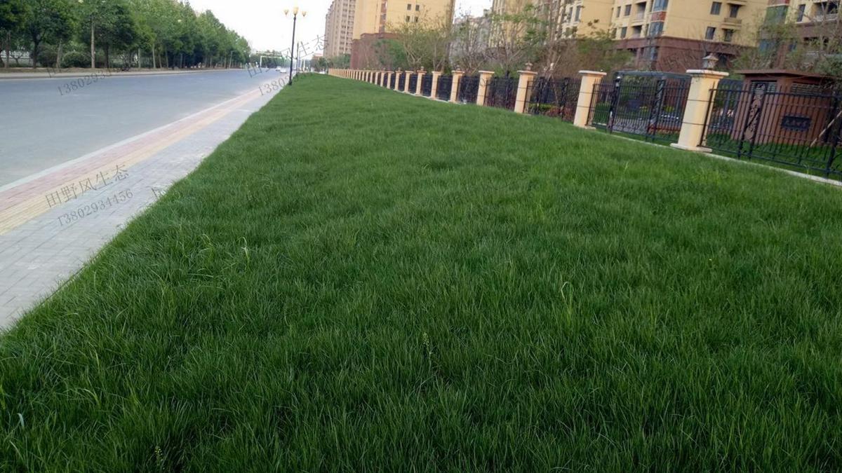 绿化草种草籽