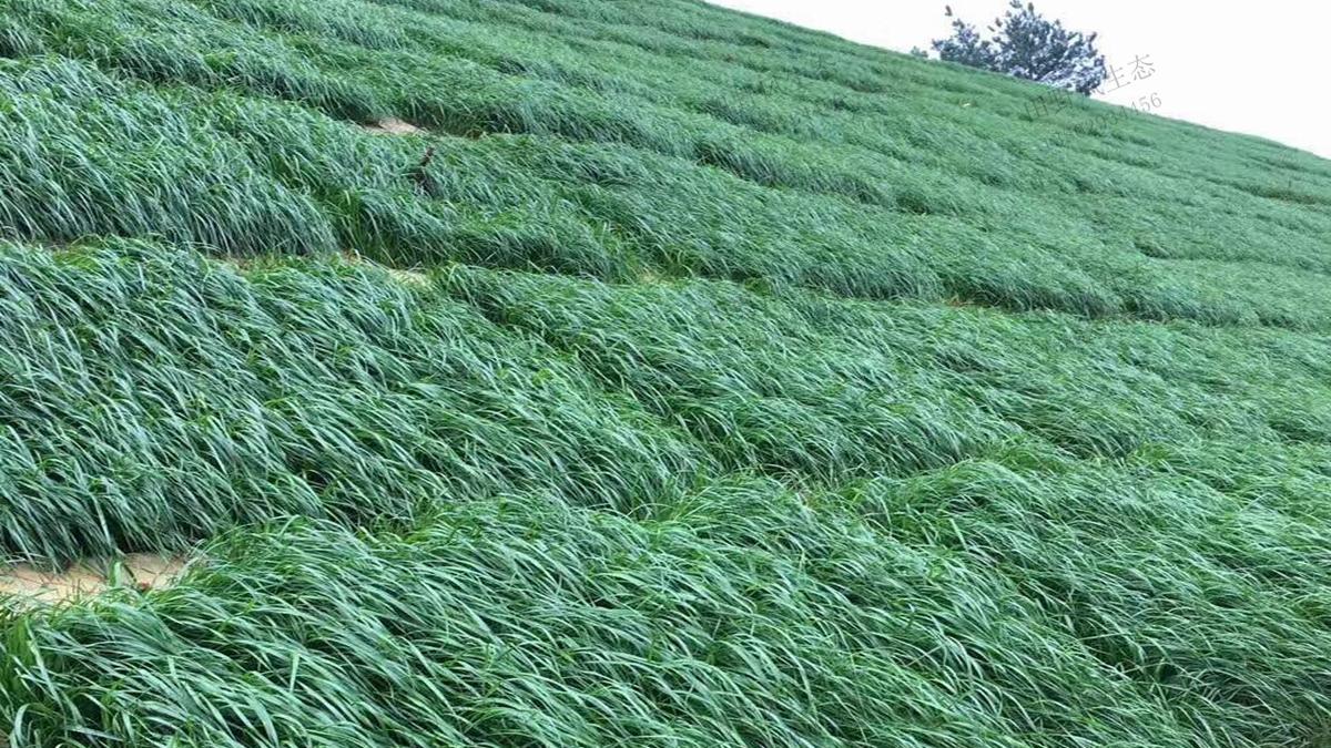 护坡绿化草种黑麦草