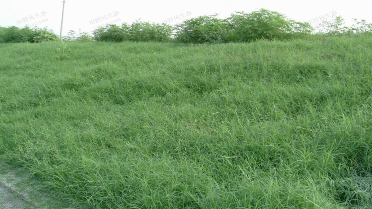 护坡绿化草种狗牙根