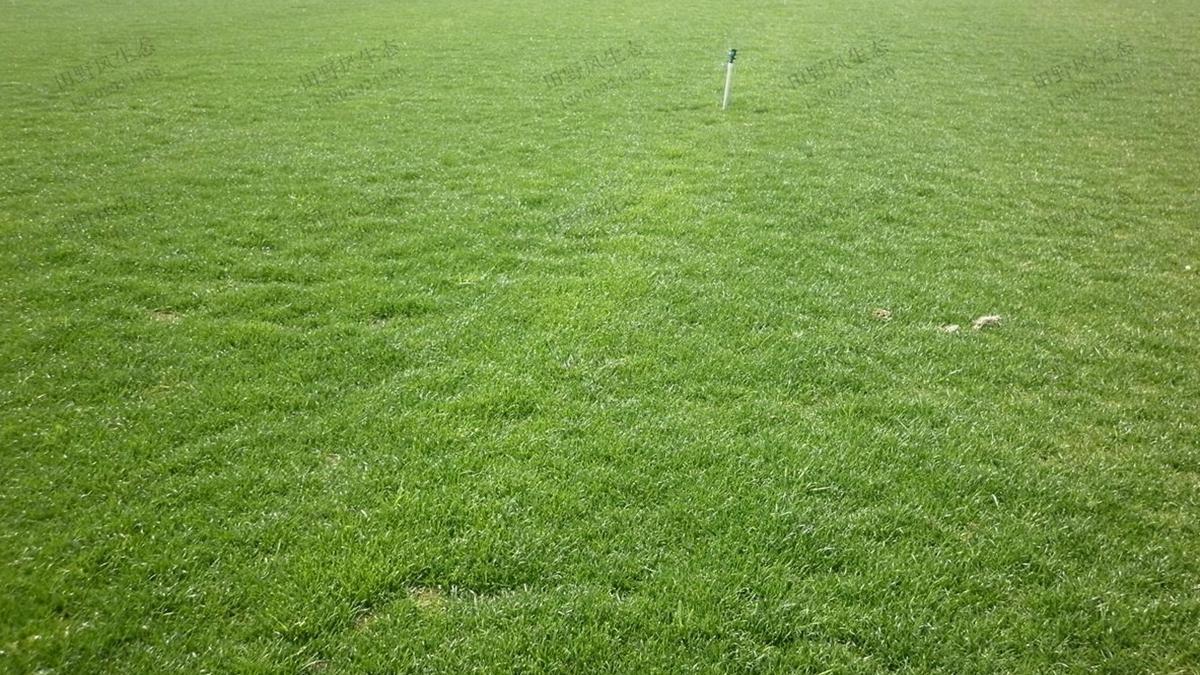 草坪草种狗牙根、百慕大和天堂草之间是什么关系?