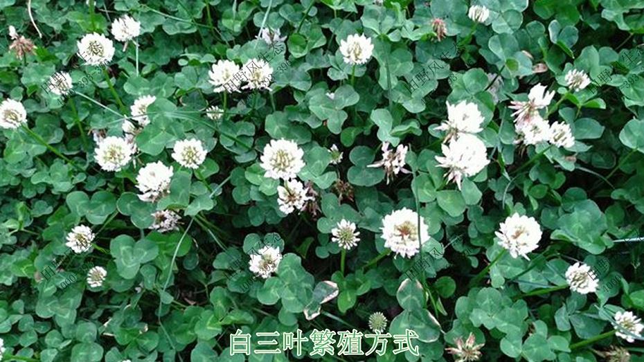 白三叶繁殖方式