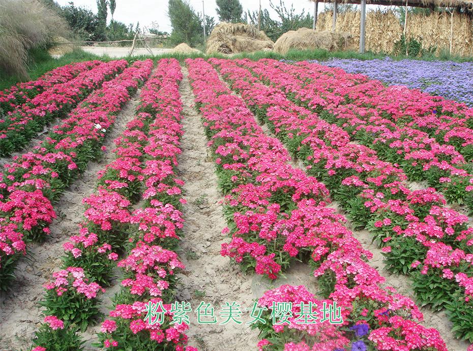 10粉紫色美女樱基地