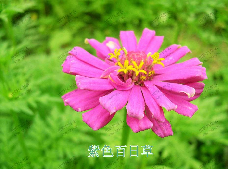4紫色百日草