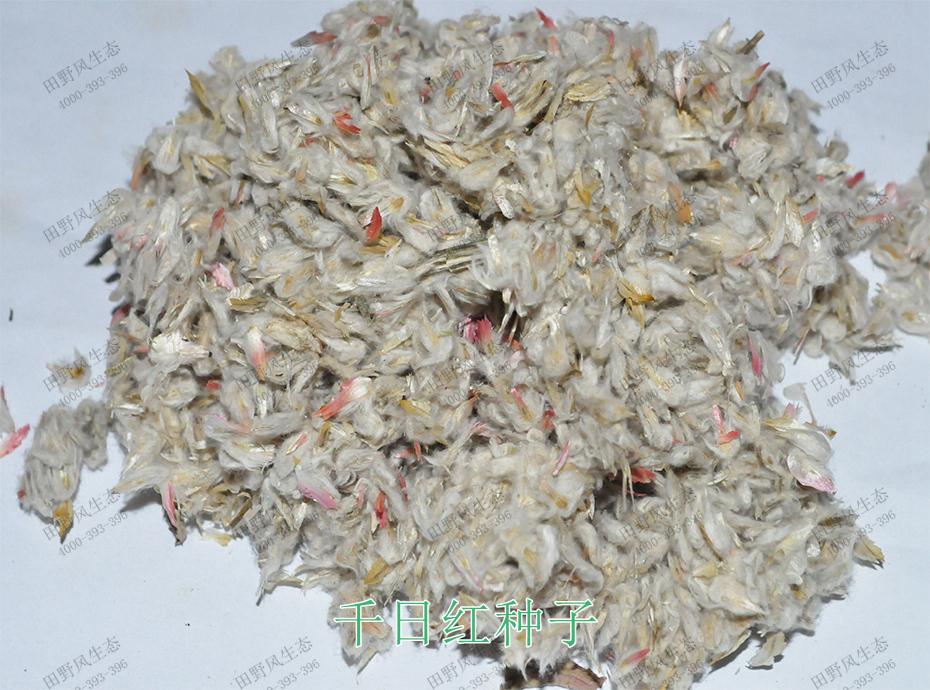 1千日红种子