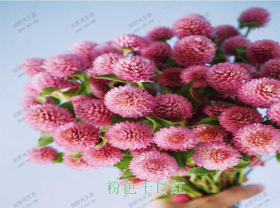 3粉色千日红
