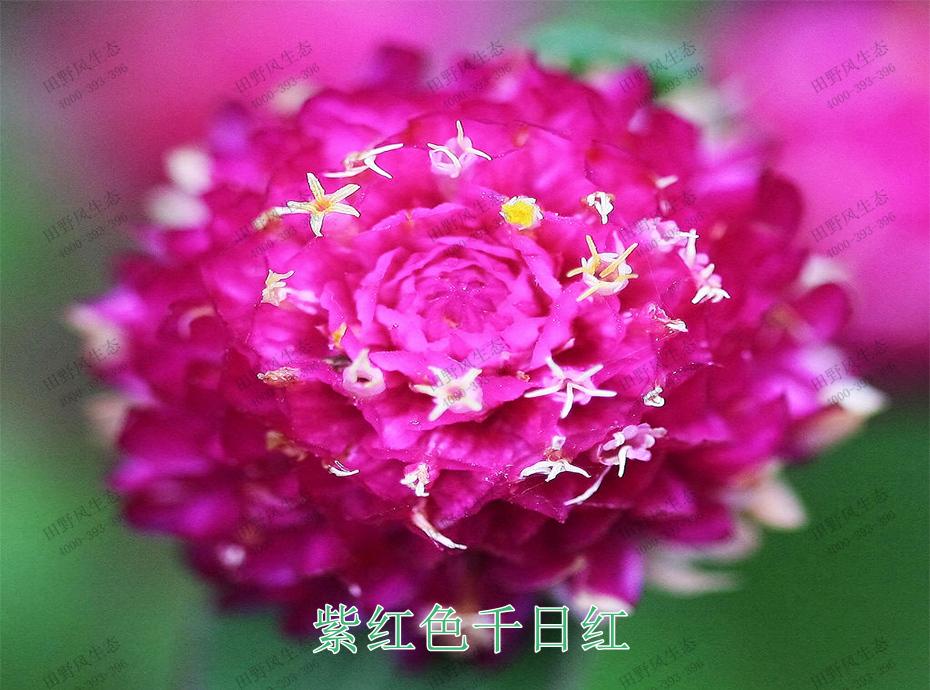 4紫红色千日红