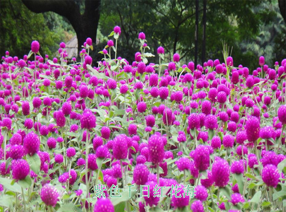 8紫色千日红花海