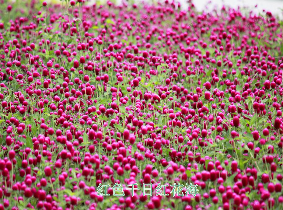 9红色千日红花海