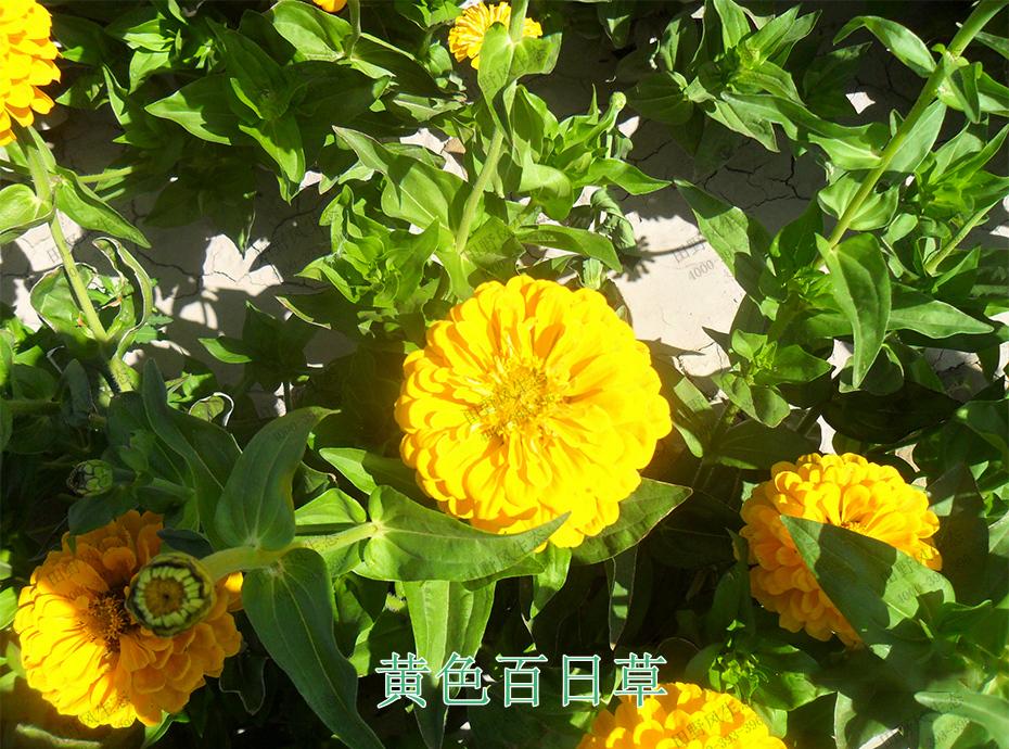5黄色百日草
