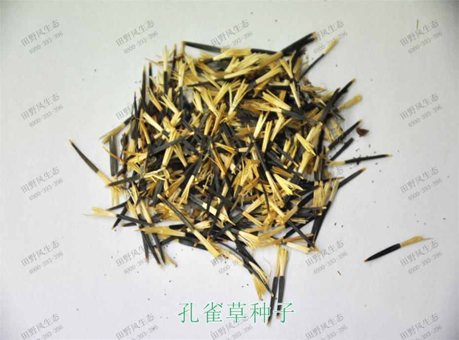 1孔雀草种子