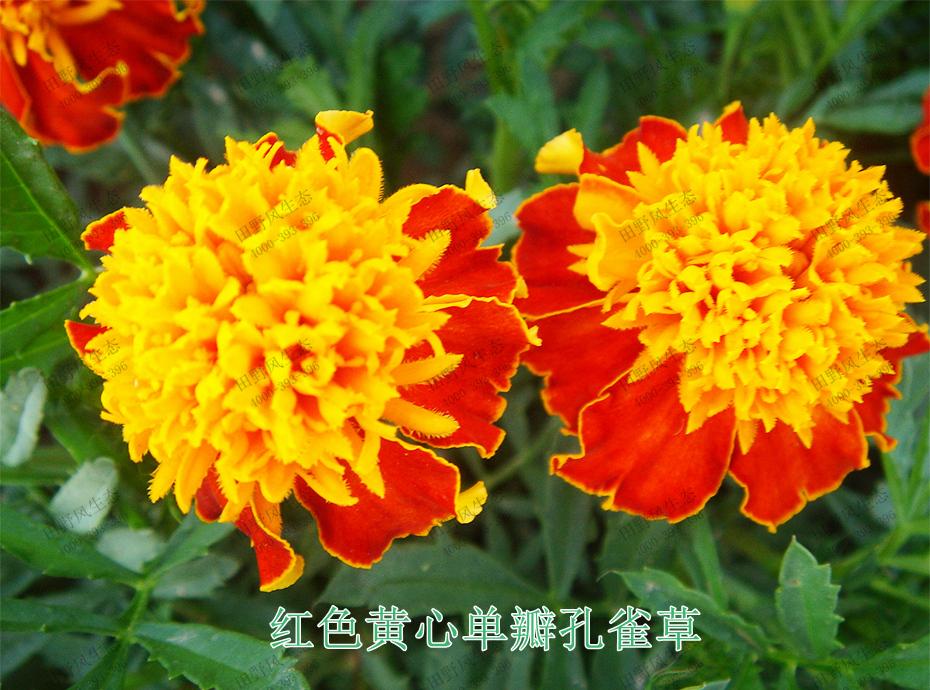 2红色黄心单瓣孔雀草