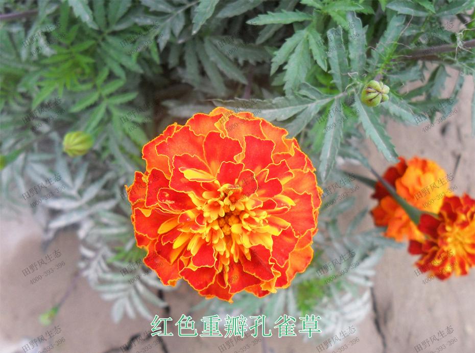 4红色重瓣孔雀草
