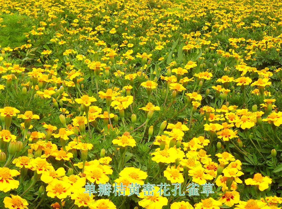 6单瓣桔黄密花孔雀草