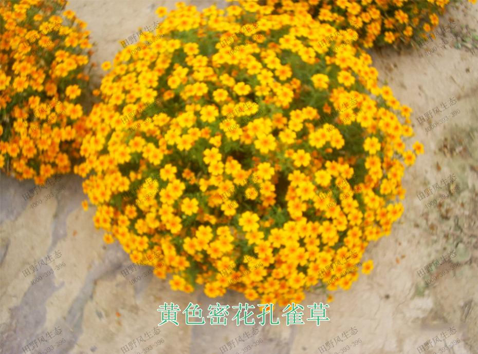 9黄色密花孔雀草
