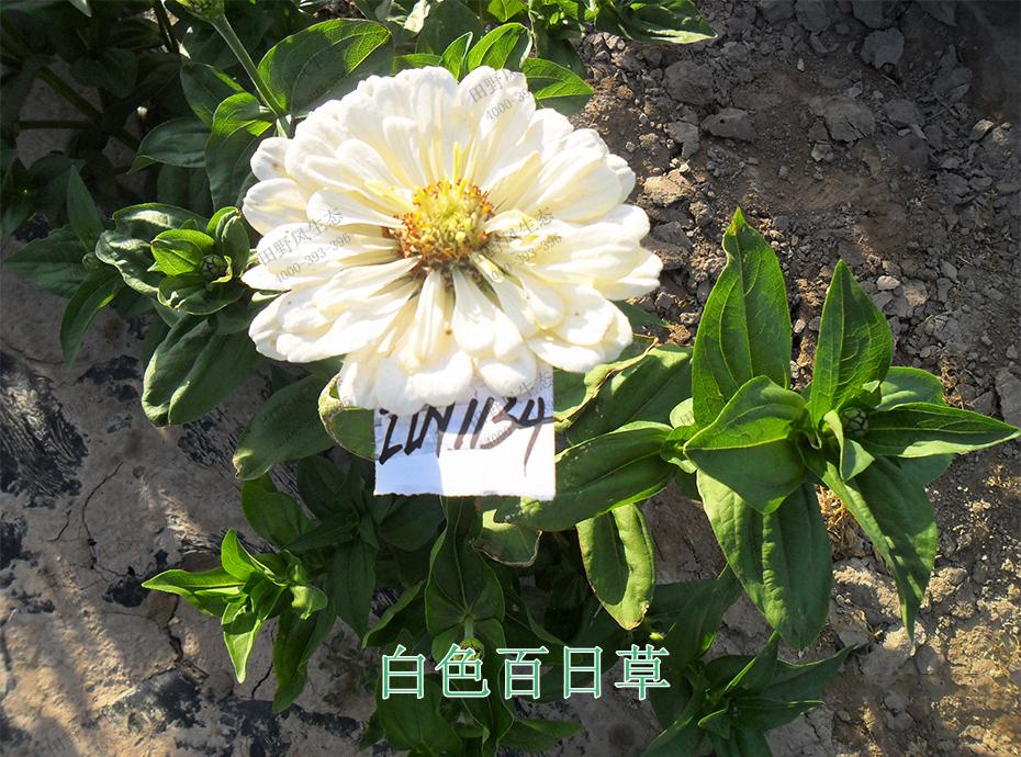 6白色百日草