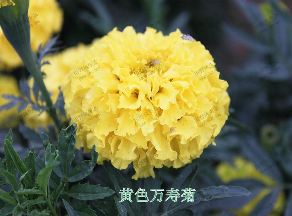 2黄色万寿菊