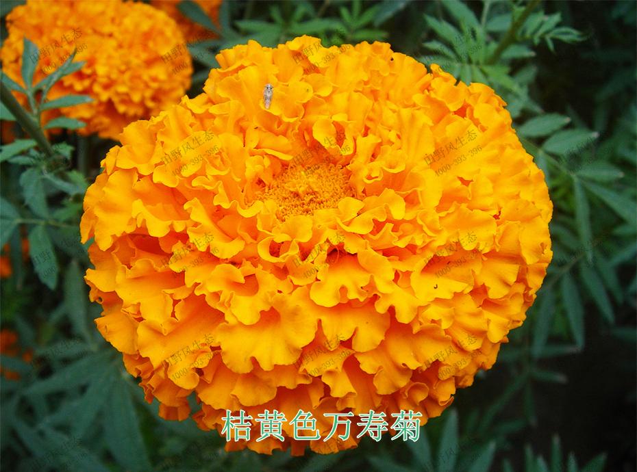 3桔黄色万寿菊