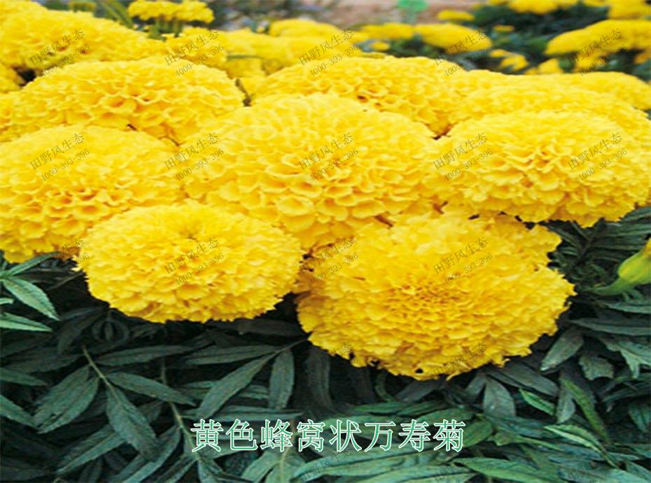 4黄色蜂窝状万寿菊