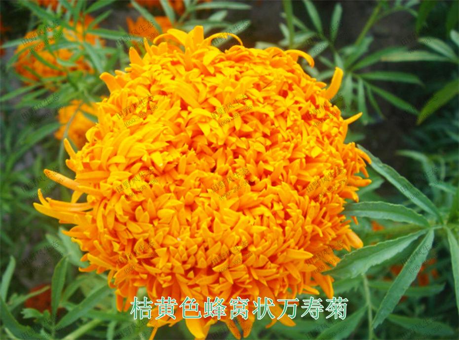 5桔黄色蜂窝状万寿菊