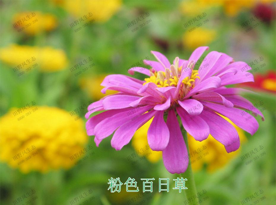 7粉色百日草