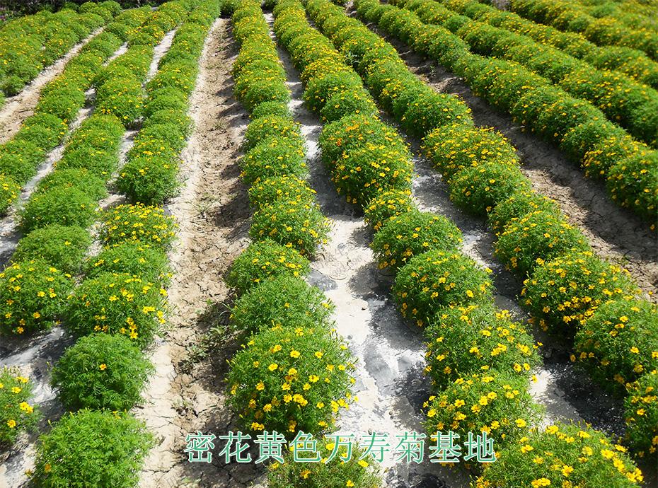7密花黄色万寿菊基地