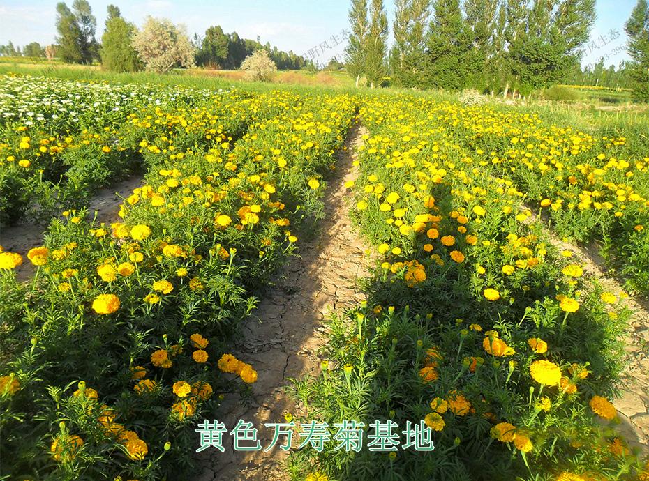 9黄色万寿菊基地