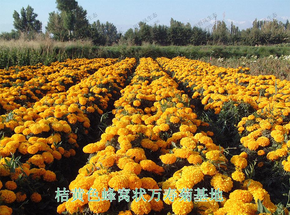 10桔黄色蜂窝状万寿菊基地