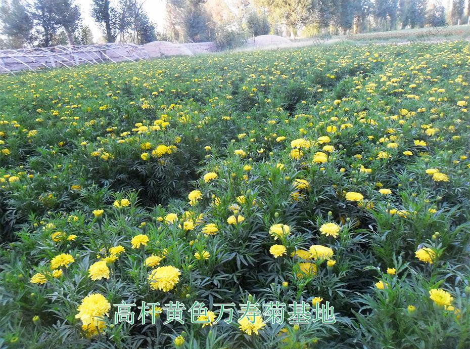 11高杆黄色万寿菊基地