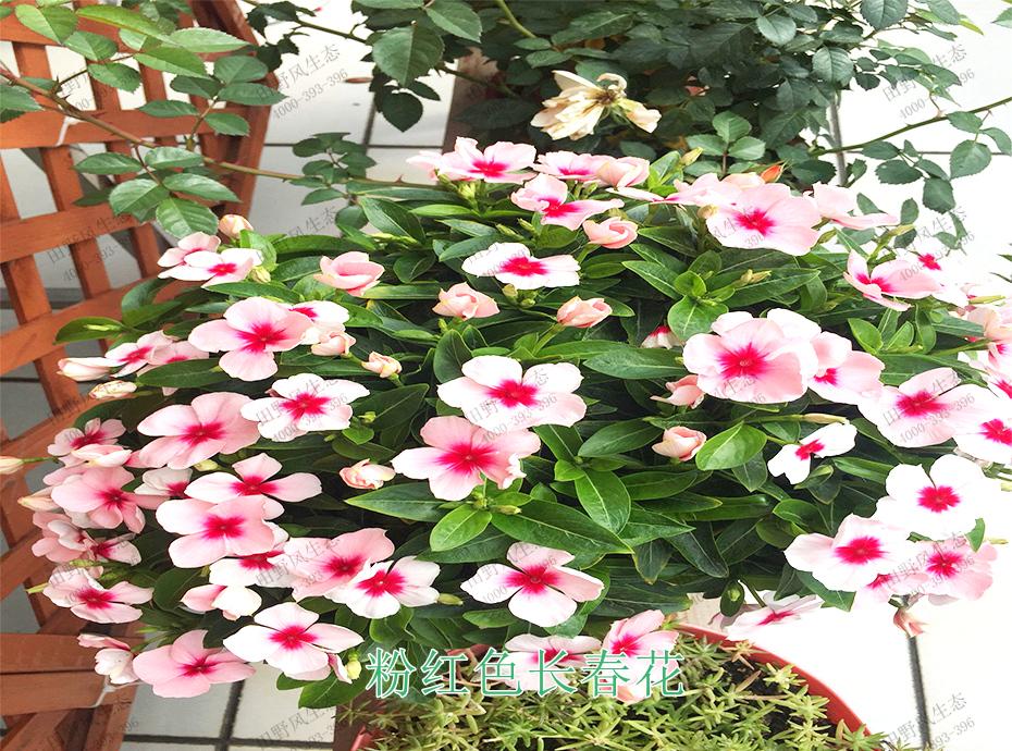 2粉红色长春花