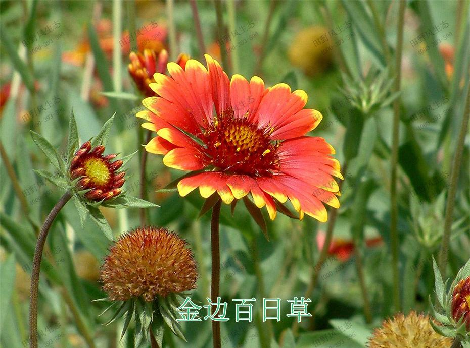 8金边百日草