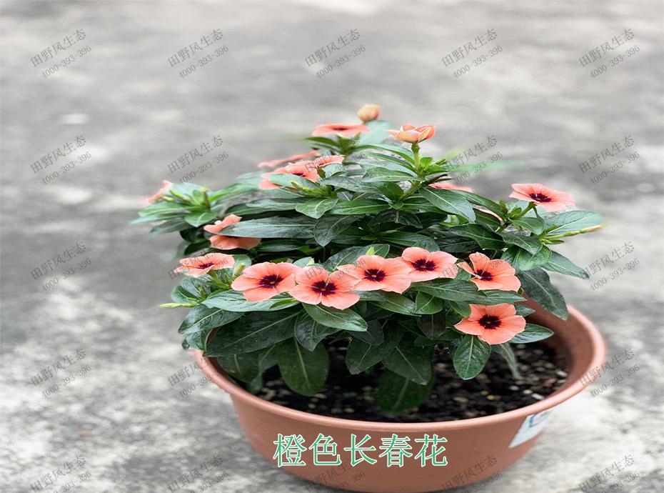 4橙色长春花