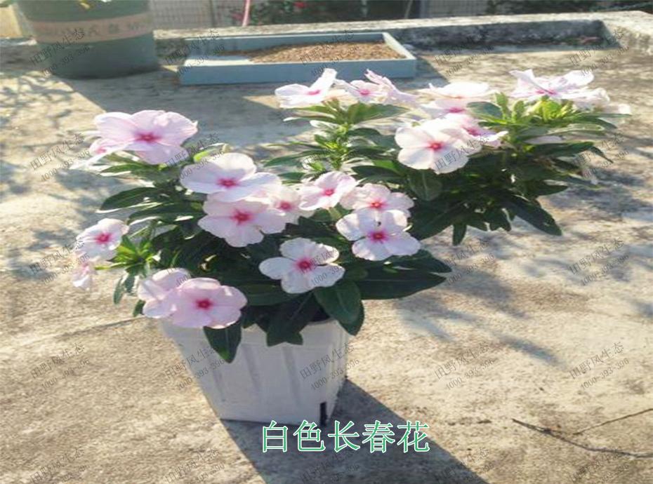 5白色长春花