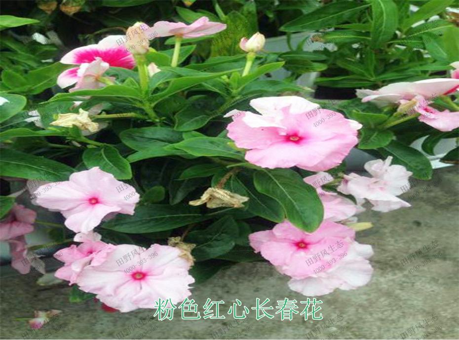 6粉色红心长春花
