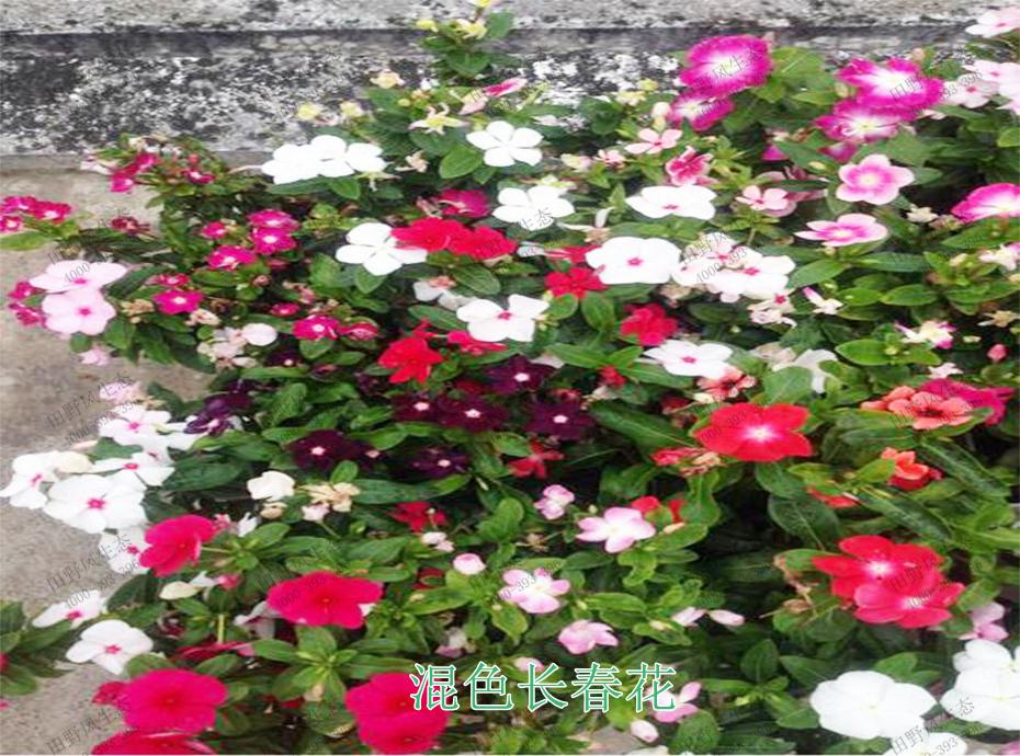 7混色长春花