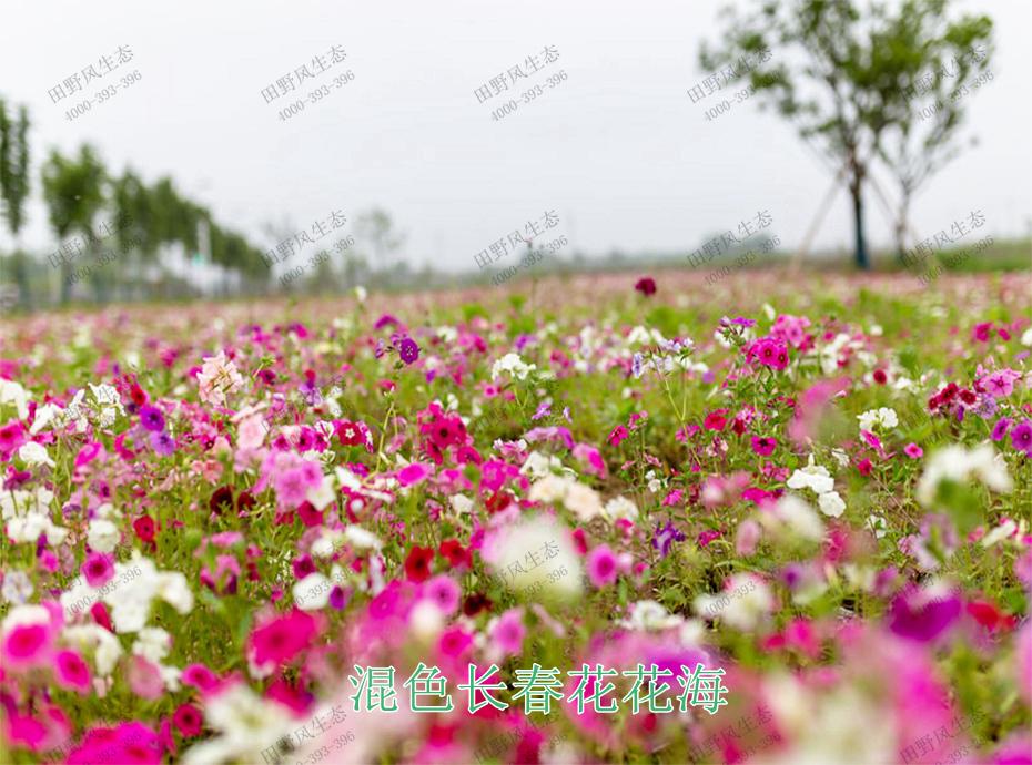 9混色长春花花海