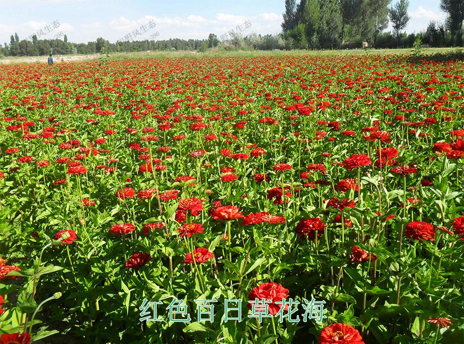 14红色百日草花海