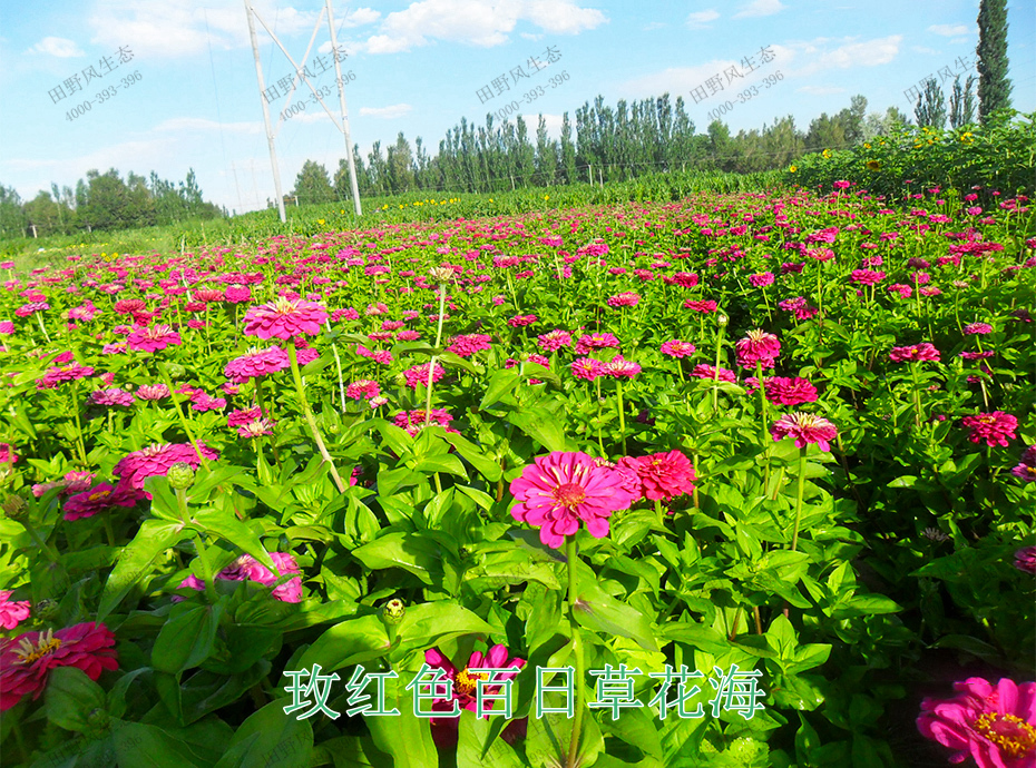 15玫红色百日草花海