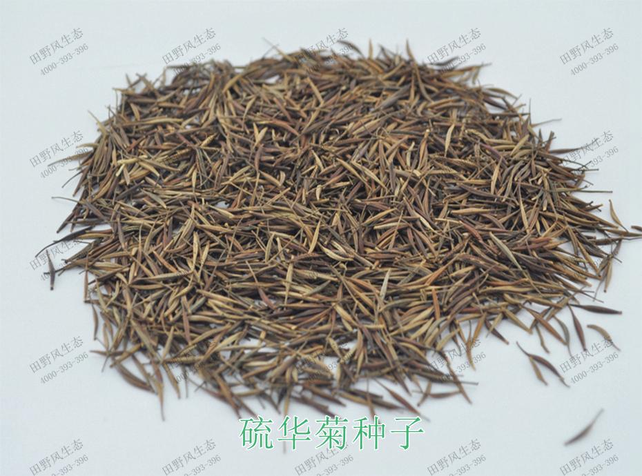 1硫华菊种子