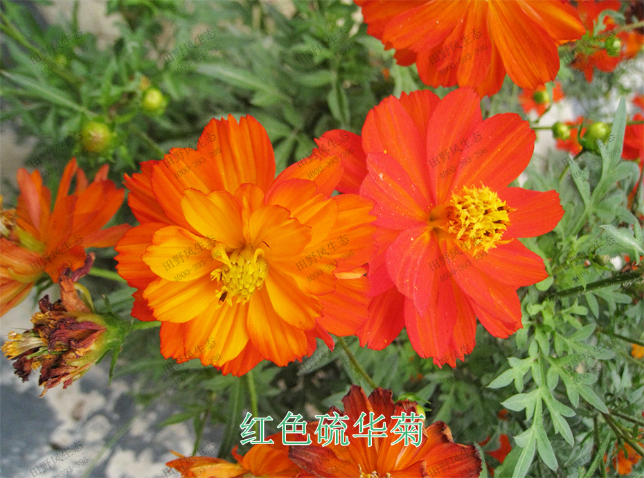 4红色硫华菊