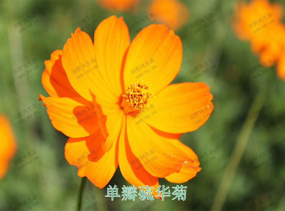 5单瓣硫华菊