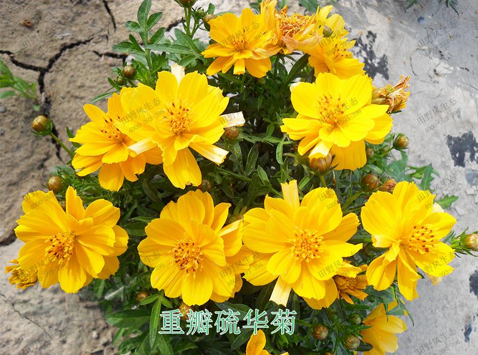 6重瓣硫华菊