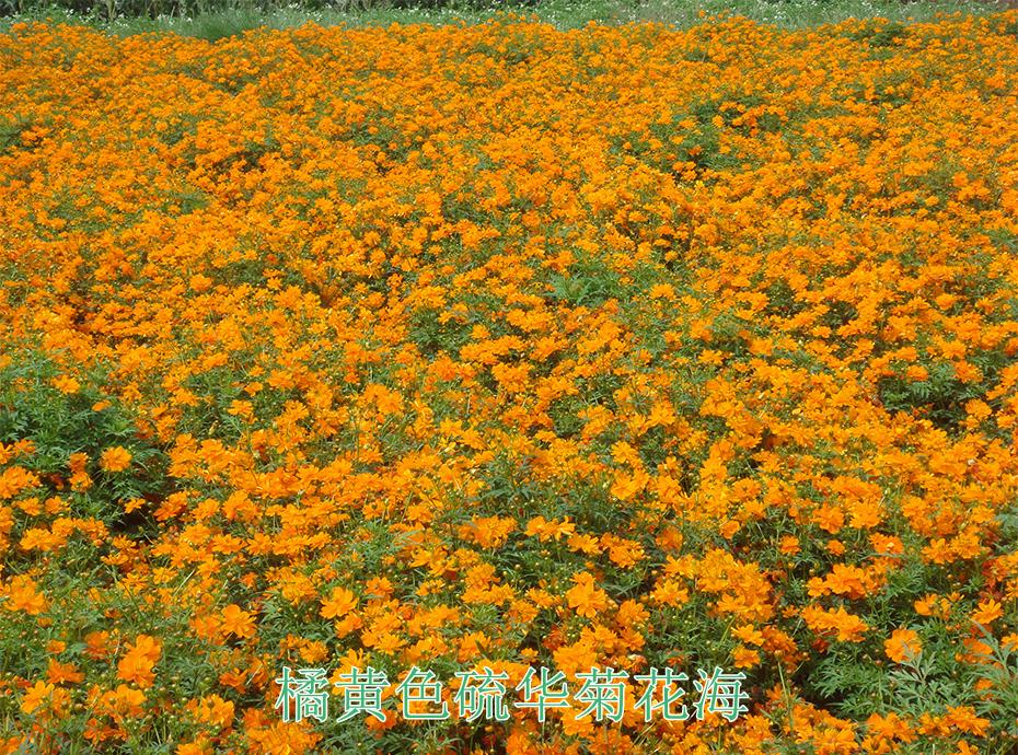 11橘黄色硫华菊花海
