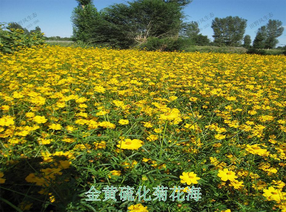 12金黄硫化菊花海