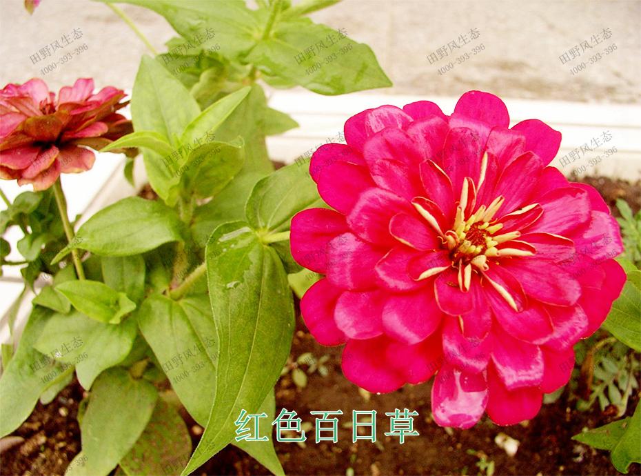 2红色百日草