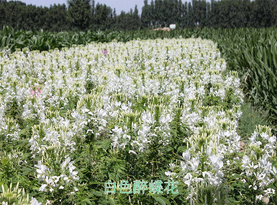 4白色醉蝶花