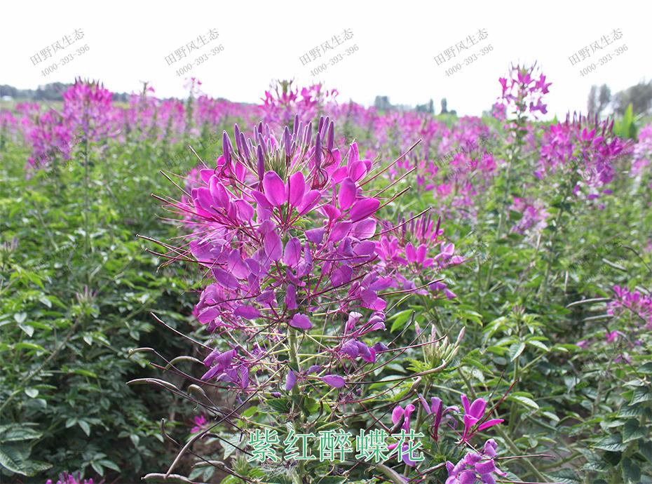 5紫红醉蝶花