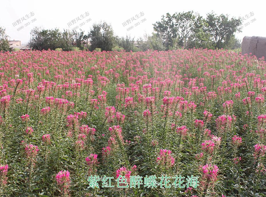 9紫红色醉蝶花花海