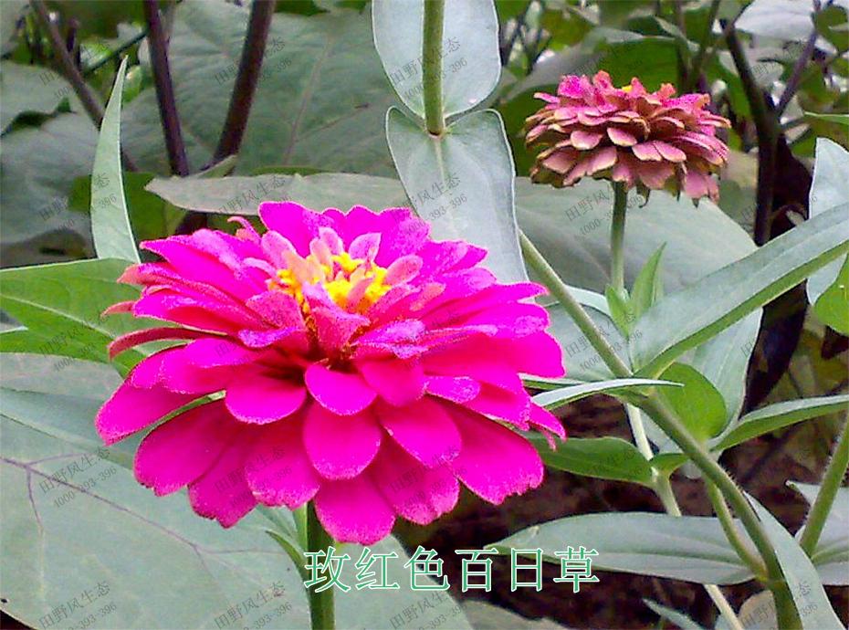 3玫红色百日草