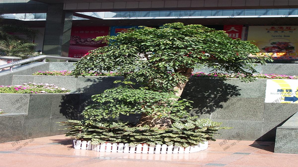 8大型富贵树