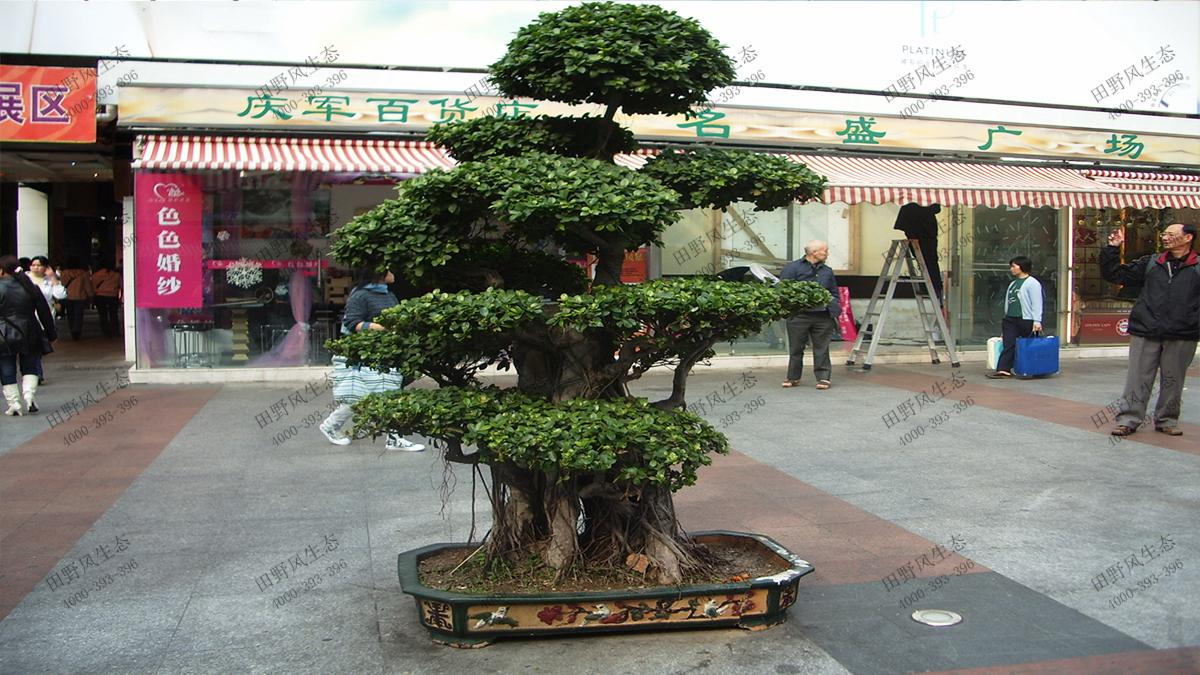 12印度榕盆景1